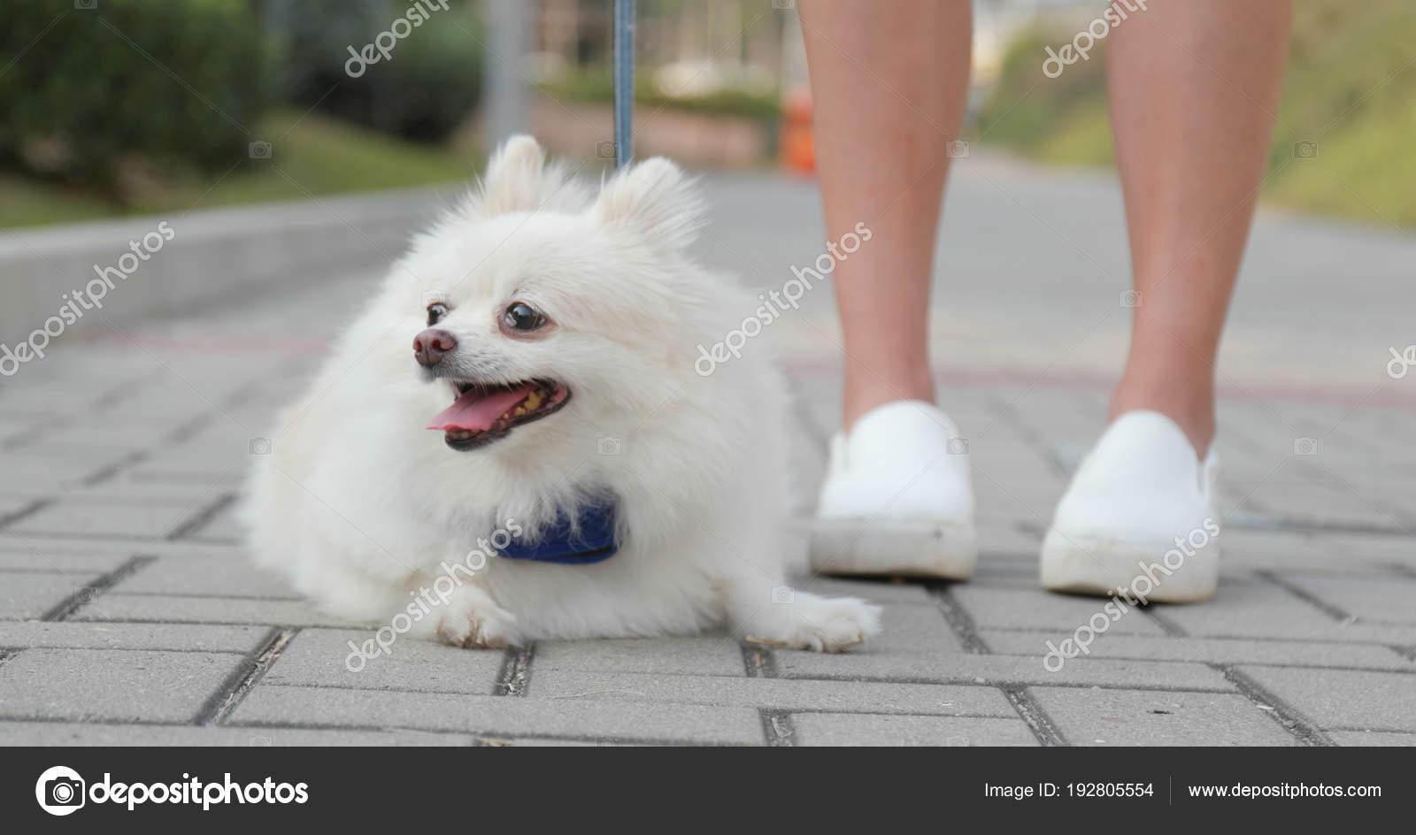Lovely Pomeranian Dog Sitting Her Owner Stock Photo C Leungchopan