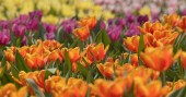Colorful tulip flower field