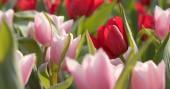 Barevný Tulipán květinová zahrada
