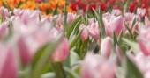 Colorful Tulip flower park