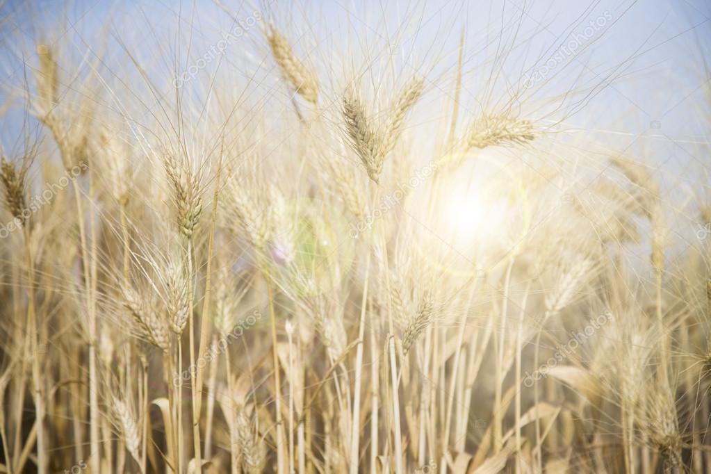 backdrop of ripening ears of wheat field