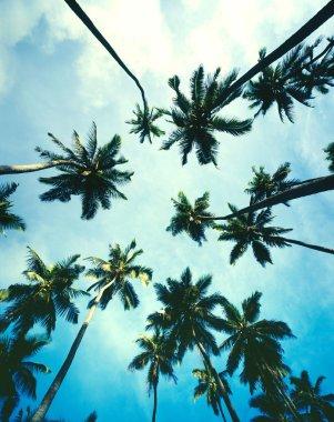 Palm Trees with blue sky