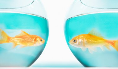 two gold fish in bowls