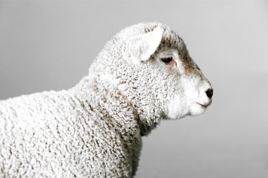 Head of white lamb