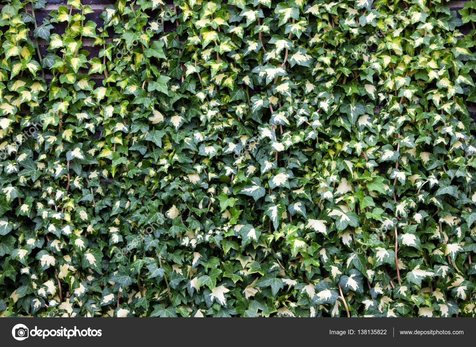 Grünen Efeu Wächst An Wand