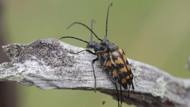 Käfer haben Sex. Reproduktion-Insekten in der Natur