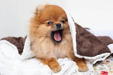 A beautiful pomeranian dog waking up and yawning from under the