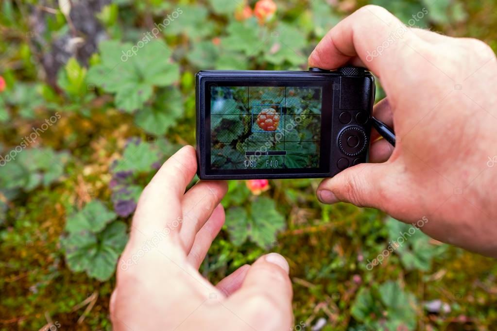 A person photographs cloudberries with a compact camera from a very close distance.