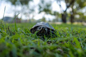 A small land turtle walks along the green grass in the park.