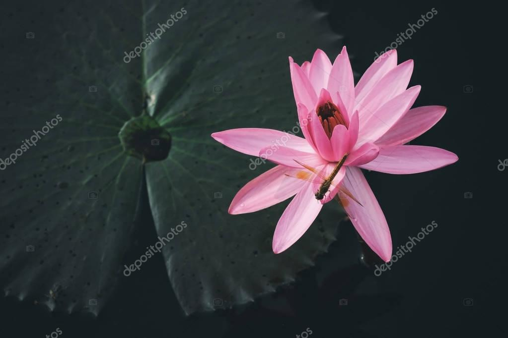 Red waterlily is blooming in lake with soft sunlight