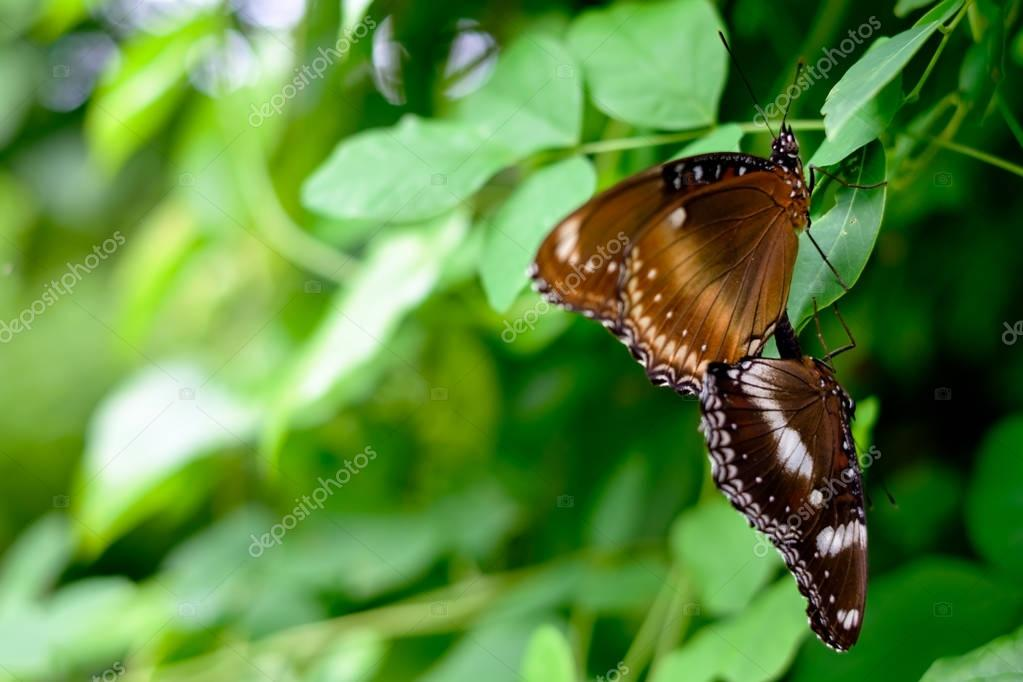 Two beautiful brown butterfly sitting on the leaves of the trees