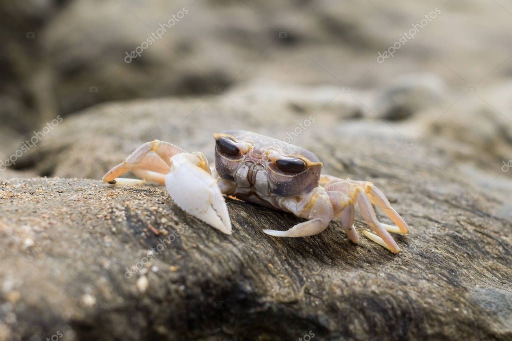 Small crab with huge eyes on a stone near a sea