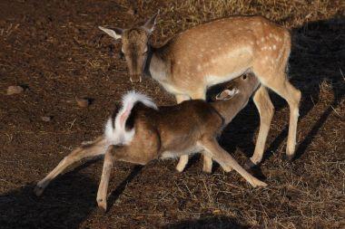fallow deer is eating