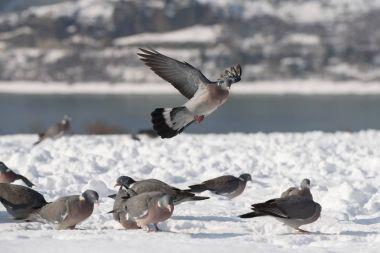Wood pigeon eat