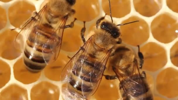 Work of young bees on a honeycomb.Bees take nectar from honeycomb to transform it into honey.