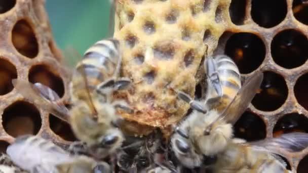 Születése méhkirálynő. Fiatal méhkirálynő jön ki a gubó.