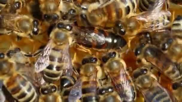 Queen bee deporre le uova non correttamente. Invece di Covata delluovo in un nido dape, ape regina lo colloca in un posto diverso. Si è osservato raramente il fenomeno ed è di interesse scientifico.