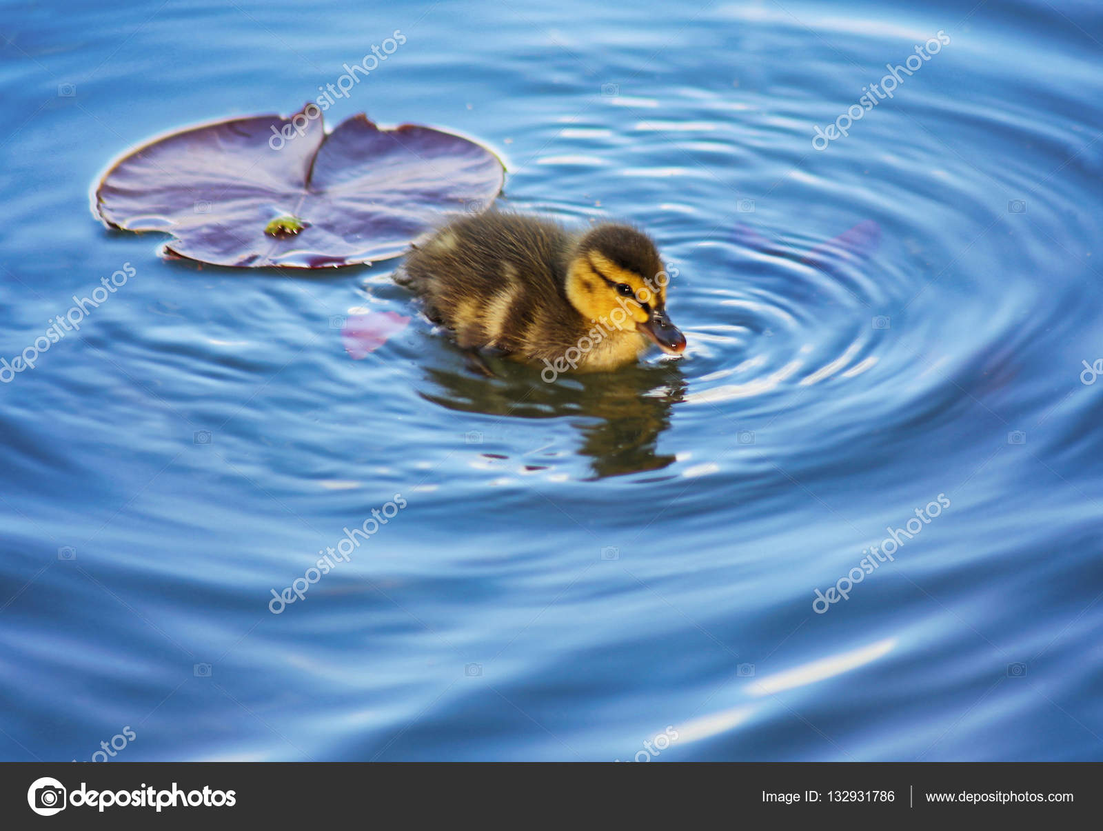 baby duckling swimming in a pond — Stock Photo © graphicphoto #132931786