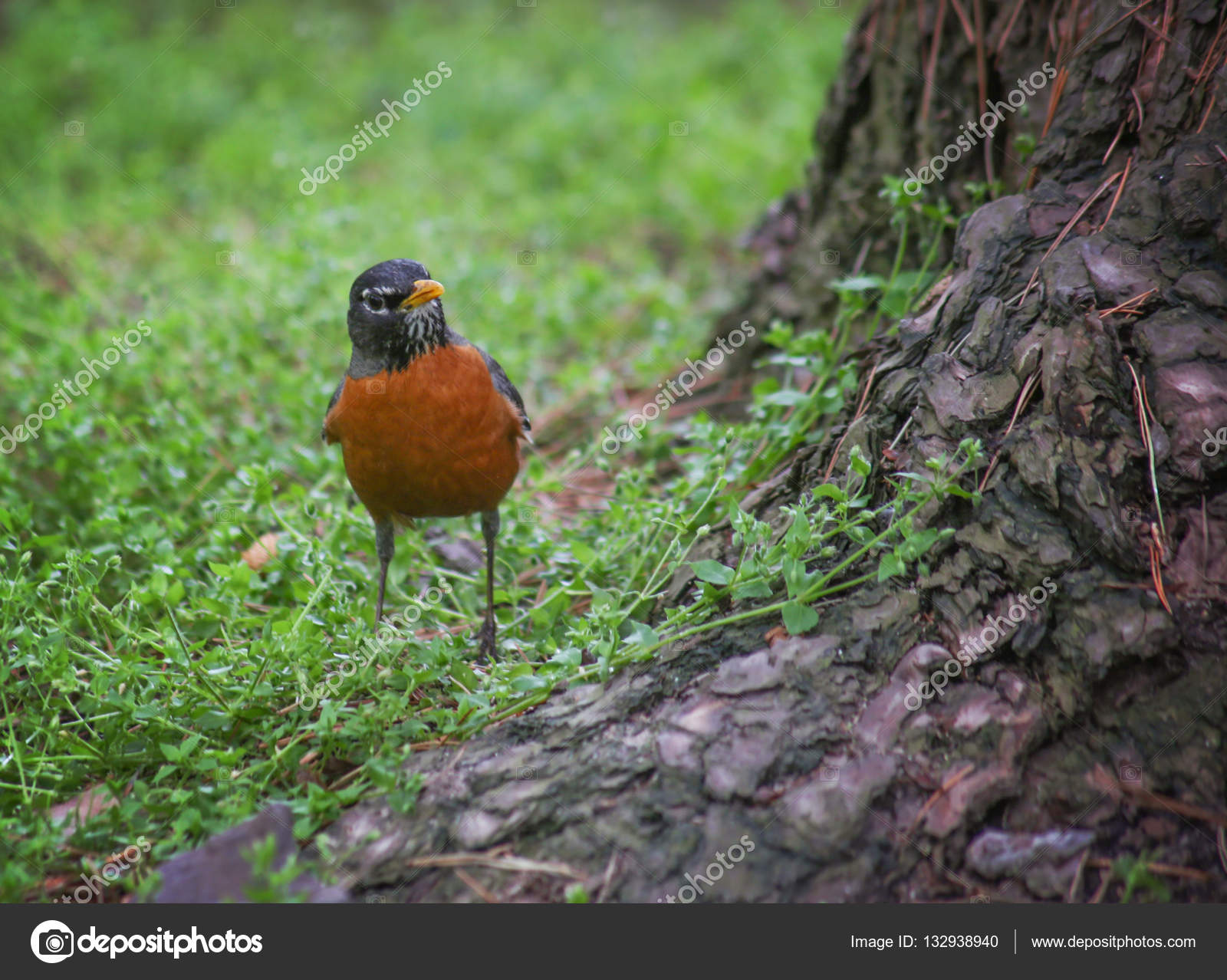 Robin Looking For Food On The Forest Floor Stock Photo
