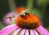 Fotografie two bees pollinating flower on summer