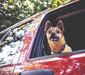 mopsz Chihuahua mix vörös jármű