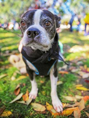 a cute boston terrier dog with a harness