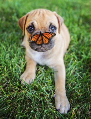 chihuahua pug puppy and a butterfly on his nose