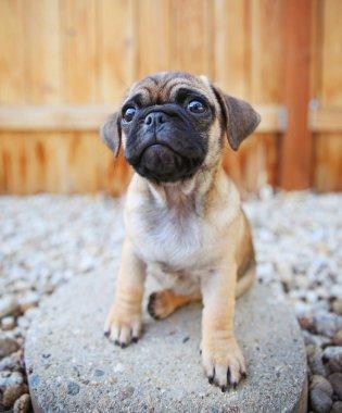 a cute chihuahua pug mix puppy