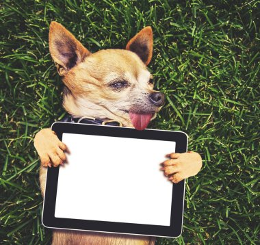 a cute chihuahua holding a blank tablet media pad