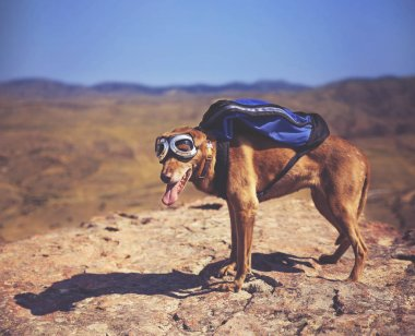 Dog standing on a mountain top with backpack