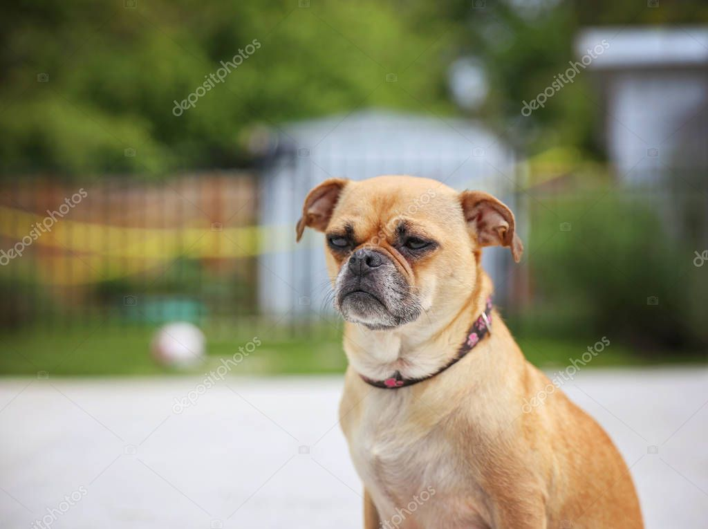 Cute chihuahua pug on summer day