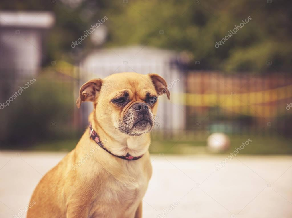 cute chihuahua pug on a hot summer day