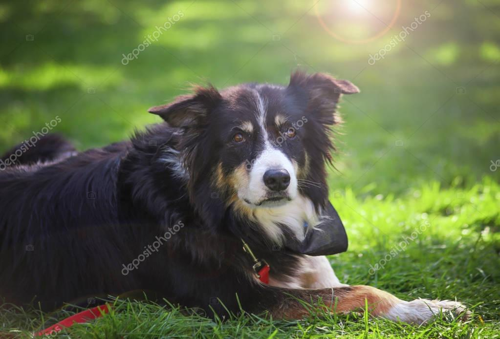 cute herding dog on the grass