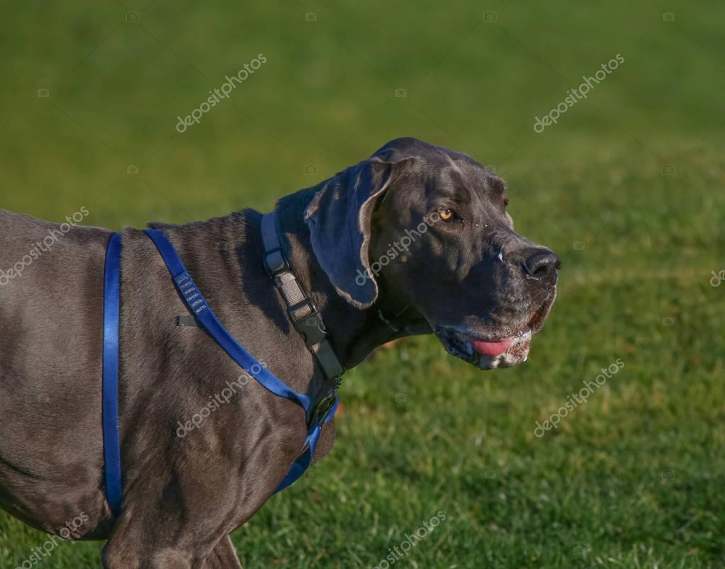 huge great dane drooling in a park