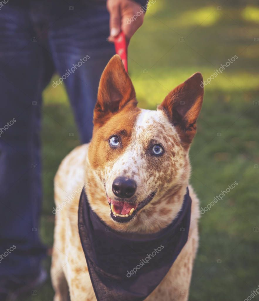 cute red cattle dog with blue eyes