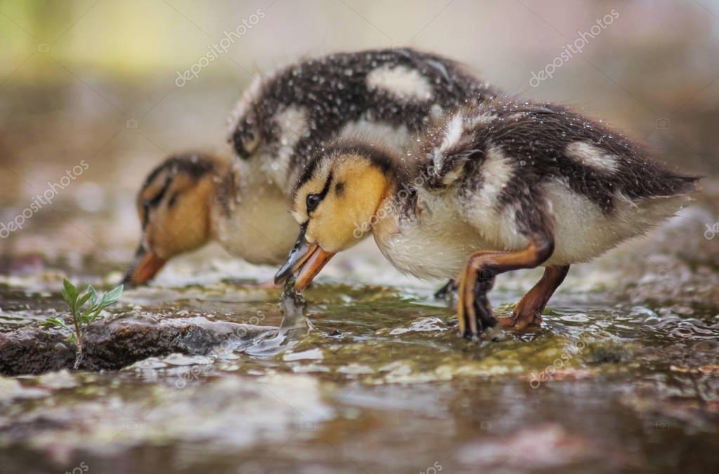 ducklings eating in the water