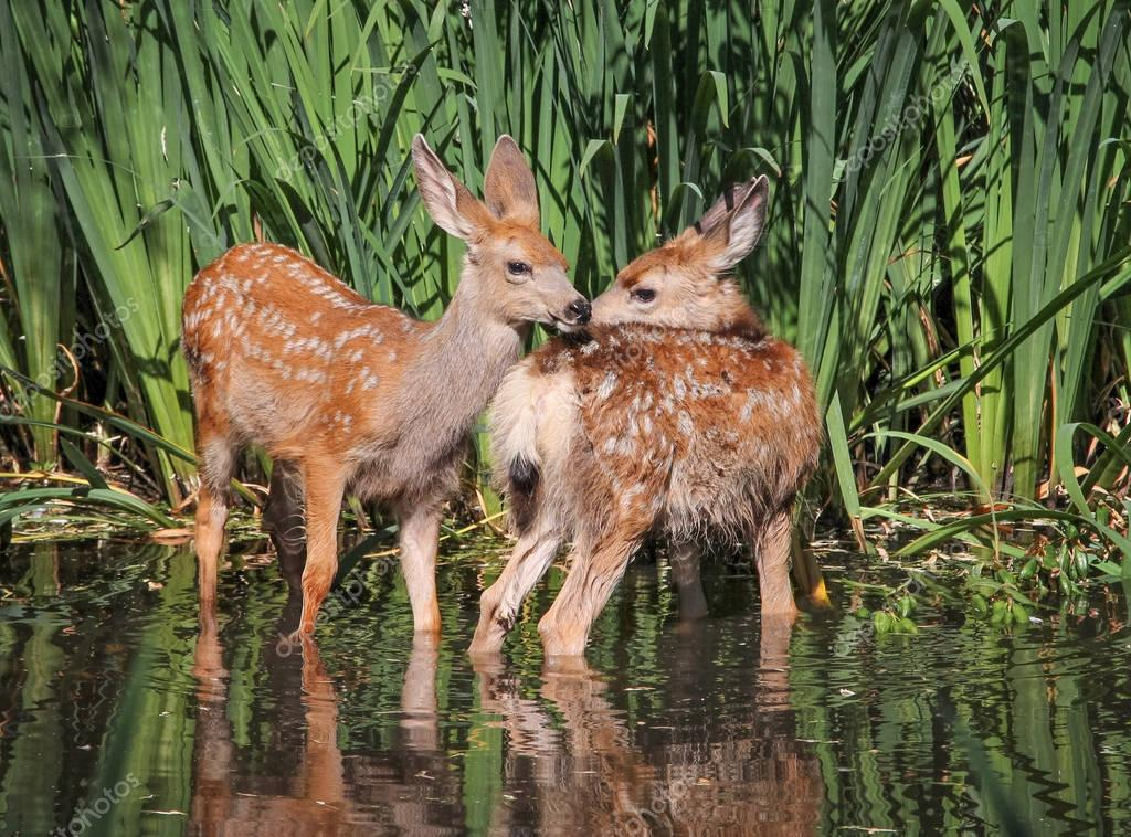twin fawns nuzzling each other in a pond