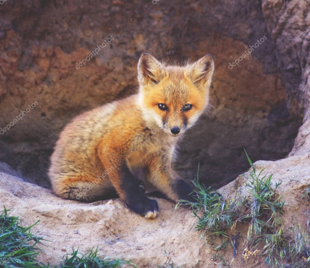 a baby red fox sitting on rock