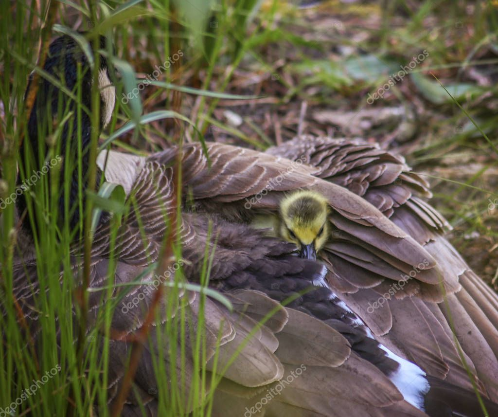 goose with a gosling poking its head
