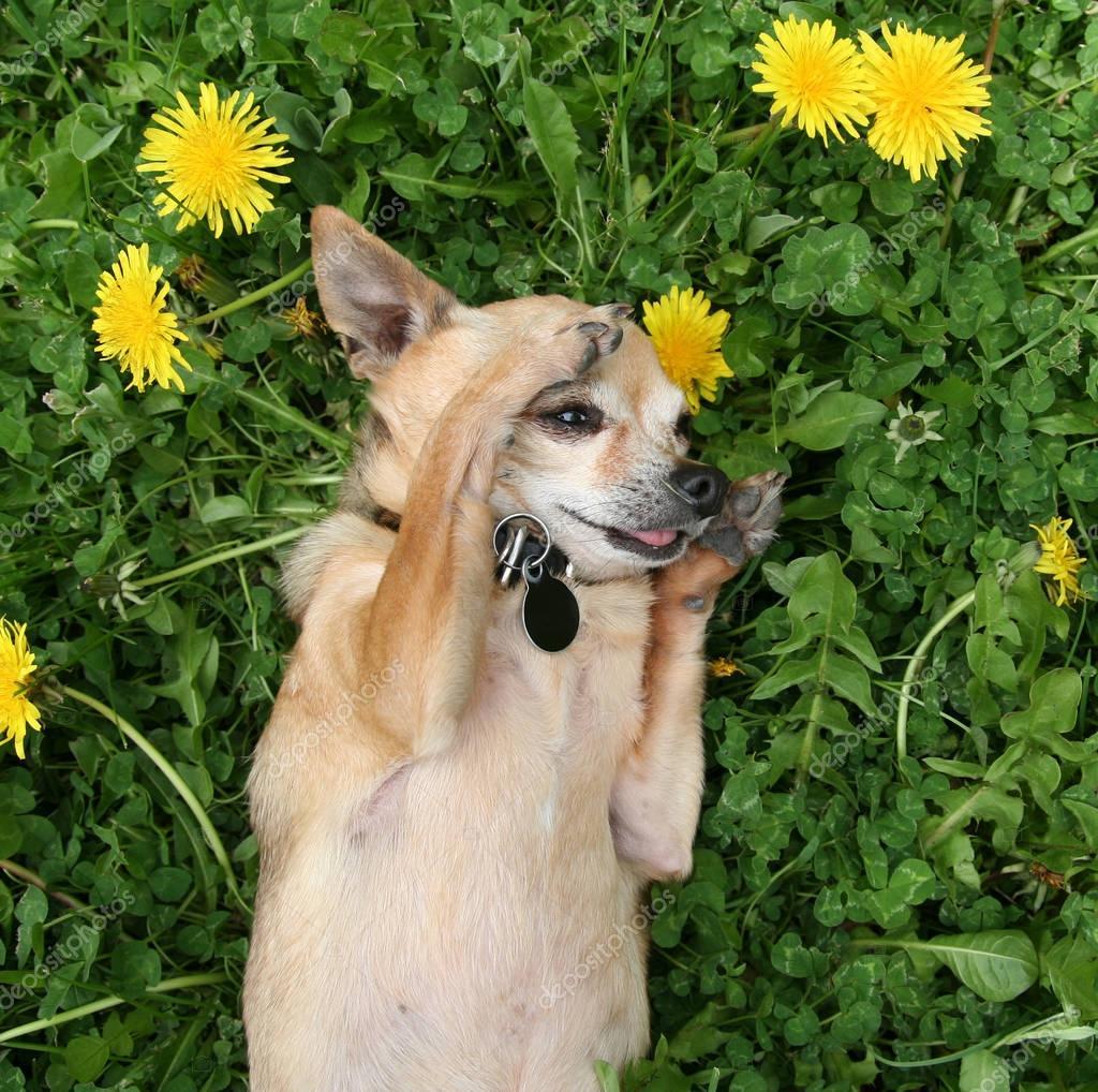 cute chihuahua on green grass