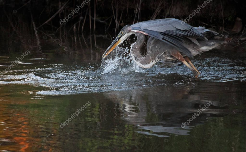 great blue heron in a local wildlife sanctuary park pond