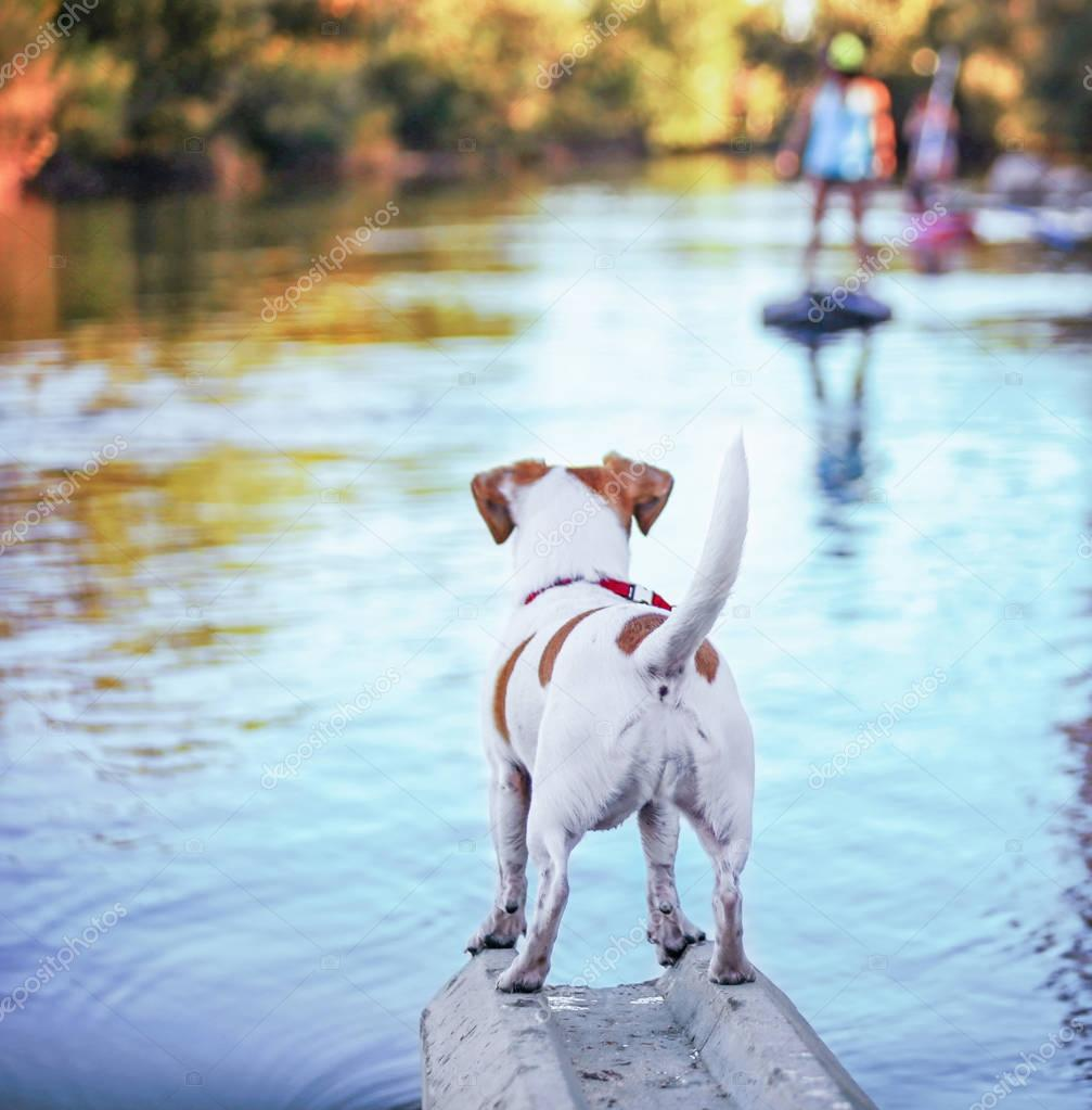 a cute jack russell terrier enjoying the river