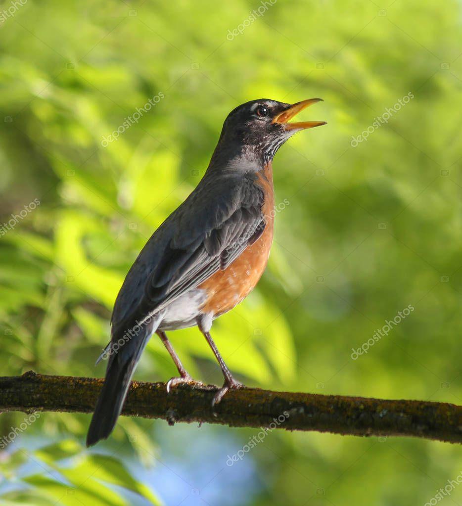 a pretty robin singing on a branch