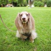 Photo a miniature long haired dachshund