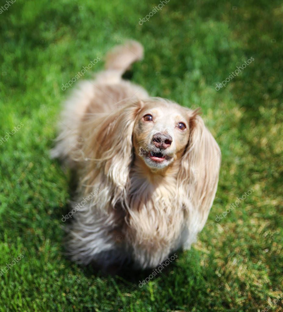 a miniature long haired dachshund in park
