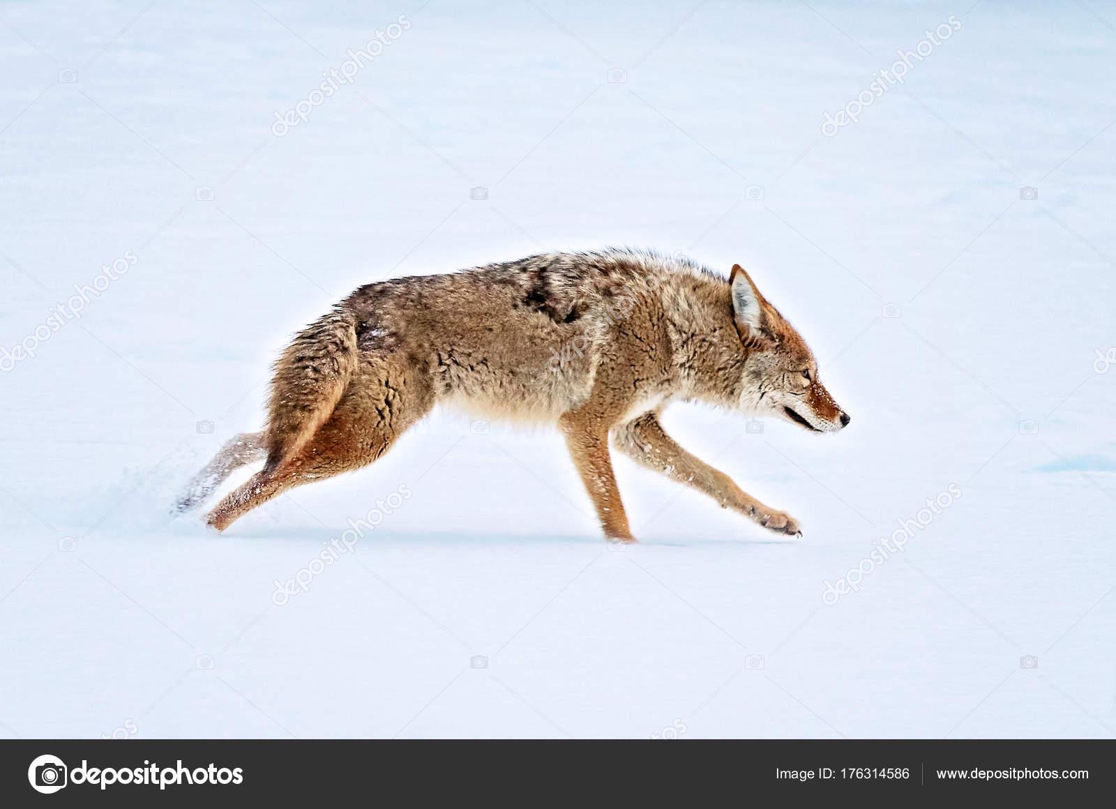 Fotos: del coyote | un coyote que atraviesa un estanque ...  Fotos: del coyo...