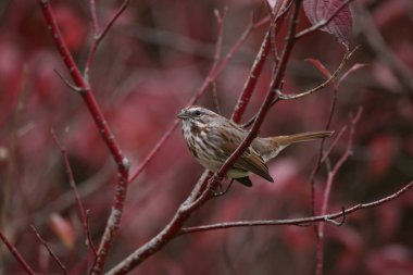 a cute little sparrow or house finch sitting on a branch during
