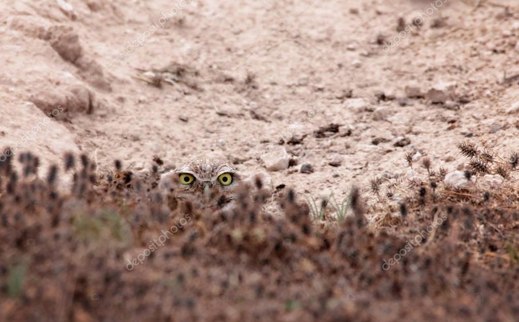 Beautiful photo of a burrowing owl hiding