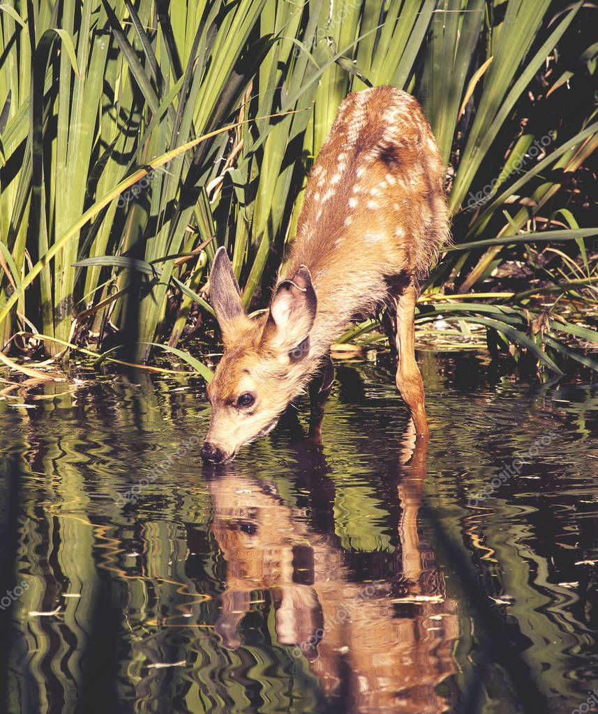 a cute baby deer with spots on its fur taking a drink of water i