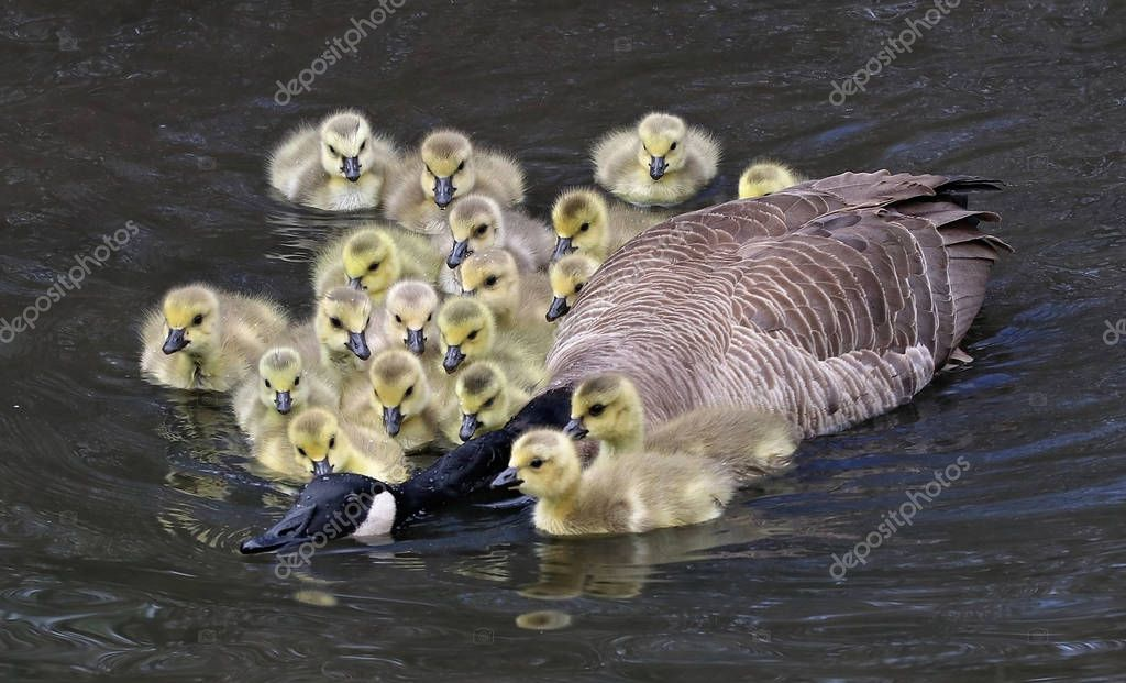 a creche of goslings surround an adult canadian goose while swim